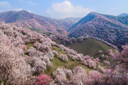 China's Breathtaking Apricot Blossoms