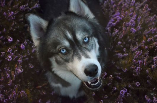 I Adopted Husky And Later He Saved Me From An Abusive Relationship